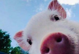 Swine technical manager