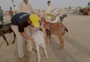 Veterinarian expert in small and large ruminants