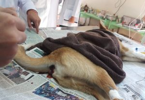 Treatment of canine parvo viral infection